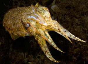 European Cuttlefish, Sepia officinalis, Corsica. by Jim Garland 